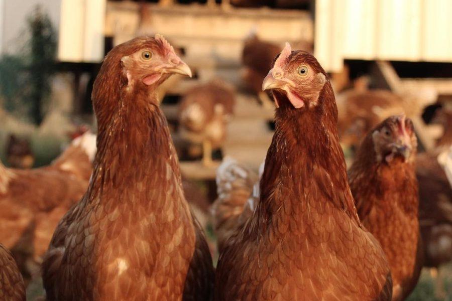 hb_chickens